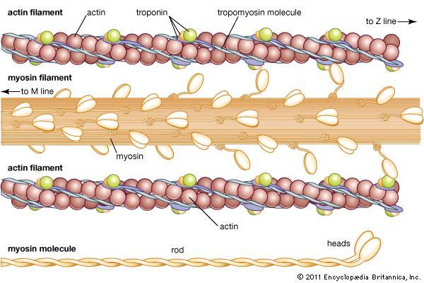 myosin-actin