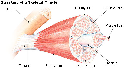 skeletal-muscle