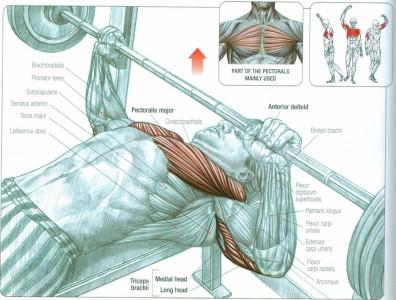 bench-press-anatomy