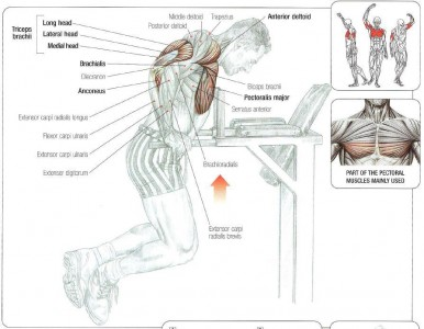 dips-anatomy